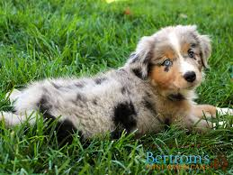 australian shepherd with tail for sale truce x rookie puppies mini american shepherd australian