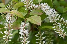 Fragrant Climbing Plants - see graham rice u0027s top 10 fragrant wall shrubs and climbers rhs