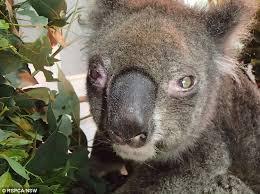 Koala Meme Generator - list of synonyms and antonyms of the word shocked koala