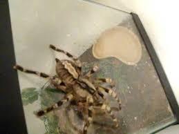 my indian ornamental tarantula
