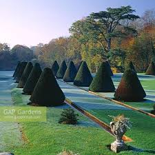 Yew Topiary - gap gardens topiary cones form the yew allee on the yew terrace
