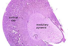 Pyramids Of The Medulla Urinary System