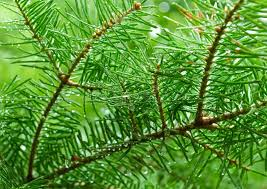 green branches of pine tree needles royalty free stock images