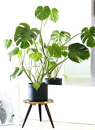 best indoor plants for low light large low light indoor plants while not a palm this showy plant has