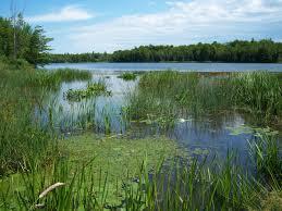 native wetland plants kleinschmidt st lawrence u0026 niagara invasive species mitigation