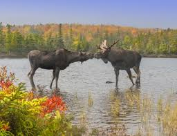 moose symbolism a message spirit animal totems