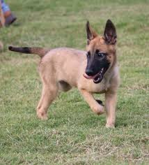 belgian shepherd how much hunter u0027s k 9 guardians belgian malinois home facebook
