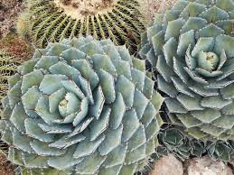 Shade Cloth Protecting Your Plants by Agaves In The Summer Succulent Gardens
