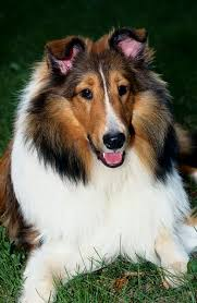 bearded collie mdr1 do collies get degenerative myelopathy pets