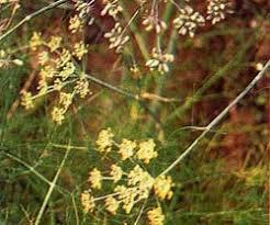 Teh Adas adas fennel herb spices