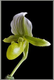 slipper flower a up view of a s slipper orchid hybrid
