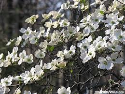 white flowering dogwood flowering dogwood cornus florida