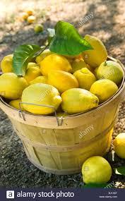 basket of newly picked citrus meyeri meyer lemon lemons stock