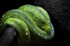 a green snake wallpapers green tree python snake wallpaper 2048x1354 202051 wallpaperup
