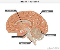 Brain Stem Anatomy What Is The Anatomy Of The Brainstem With Pictures