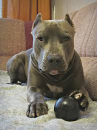 l american pitbull terrier a p b t american pitbull terrier питбуль хан apbt staff bullterrier