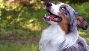 australian shepherd velcro dog our aussies u2014 breezemore