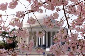 national park service revises peak cherry blossom bloom dates wtop