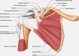 Google Human Anatomy Back Muscles Anatomy Google Search Back Muscles Pinterest