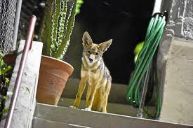 urban coyotes are living reproducing in the middle of