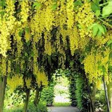 24 best golden chain tree images on landscapes nature