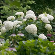 hydrangea hydrangea arborescens incrediball white flower farm