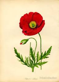 papaver rhoeas red poppy flanders poppy poppy red and fields
