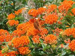 florida native butterfly plants all products organic heirloom plants striving for sustainable