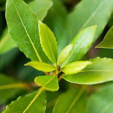 Laurel Topiary - bay laurel topiary plants bay laurel buy bay laurel topiary online