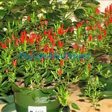 100pcs heirloom thai sun pepper capsicum annuum ornamental