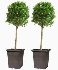 pair of 5ft bay laurel topiary artificial trees the turf shop