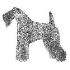 bedlington terrier seattle kerry blue terrier dog breed information american kennel club