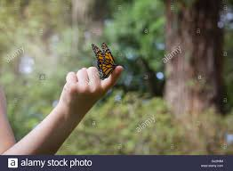 holding monarch butterfly on finger stock photo 114385060