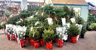 real christmas trees for sale real christmas trees on sale at langlands langlands news events