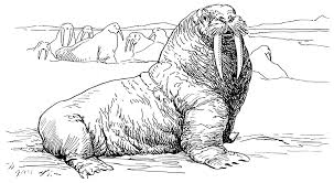 coloring page for walrus walrus coloring pages free walrus coloring pages vitlt com