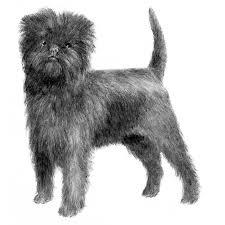 affenpinscher breeders canada affenpinscher puppy img pic animals