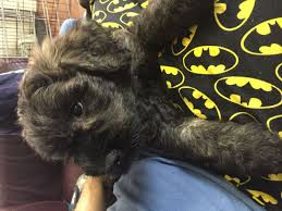 affenpinscher calgary bouvier des flandres puppies only 1 and 3 boys left