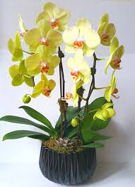 orchid plant 3 month orchid plant subscription flowers in the box