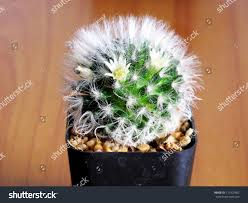 Small Flower Pot by Small Cactus Flower Pot On Wooden Stock Photo 171902462 Shutterstock