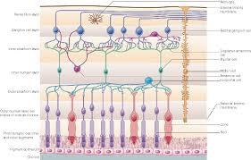 retinal layers anatomy image collections human anatomy learning