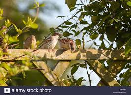 group of house sparrows sitting on garden fence with climbing