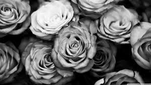roses black and white 4k hd desktop wallpaper for 4k ultra hd