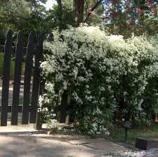 buy clematis terniflora the autumn clematis unusual climbing