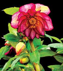 winter jewels hellebores carolyn u0027s shade gardens