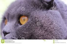 cat eyes and thick fur stock photo image 58166236