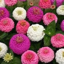 zinnia flowers 50 stratified edwardian zinnia seeds my secret