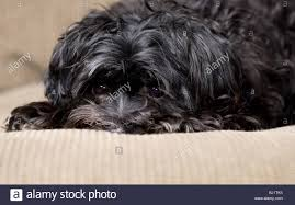 affenpinscher india maltese terrier stock photos u0026 maltese terrier stock images alamy