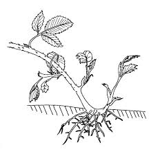 Vegetative Propagation By Roots - blackberry stolon biological drawings of vegetative reproduction