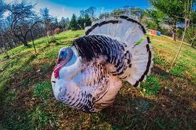 royal palm turkey wikipedia