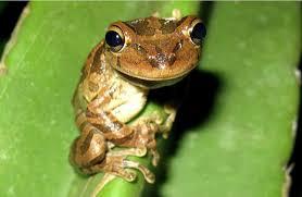 herping the cuban treefrog